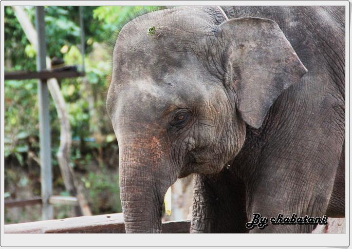 ปางช้างเผือกหาดใหญ่ ?Chang Pua […]